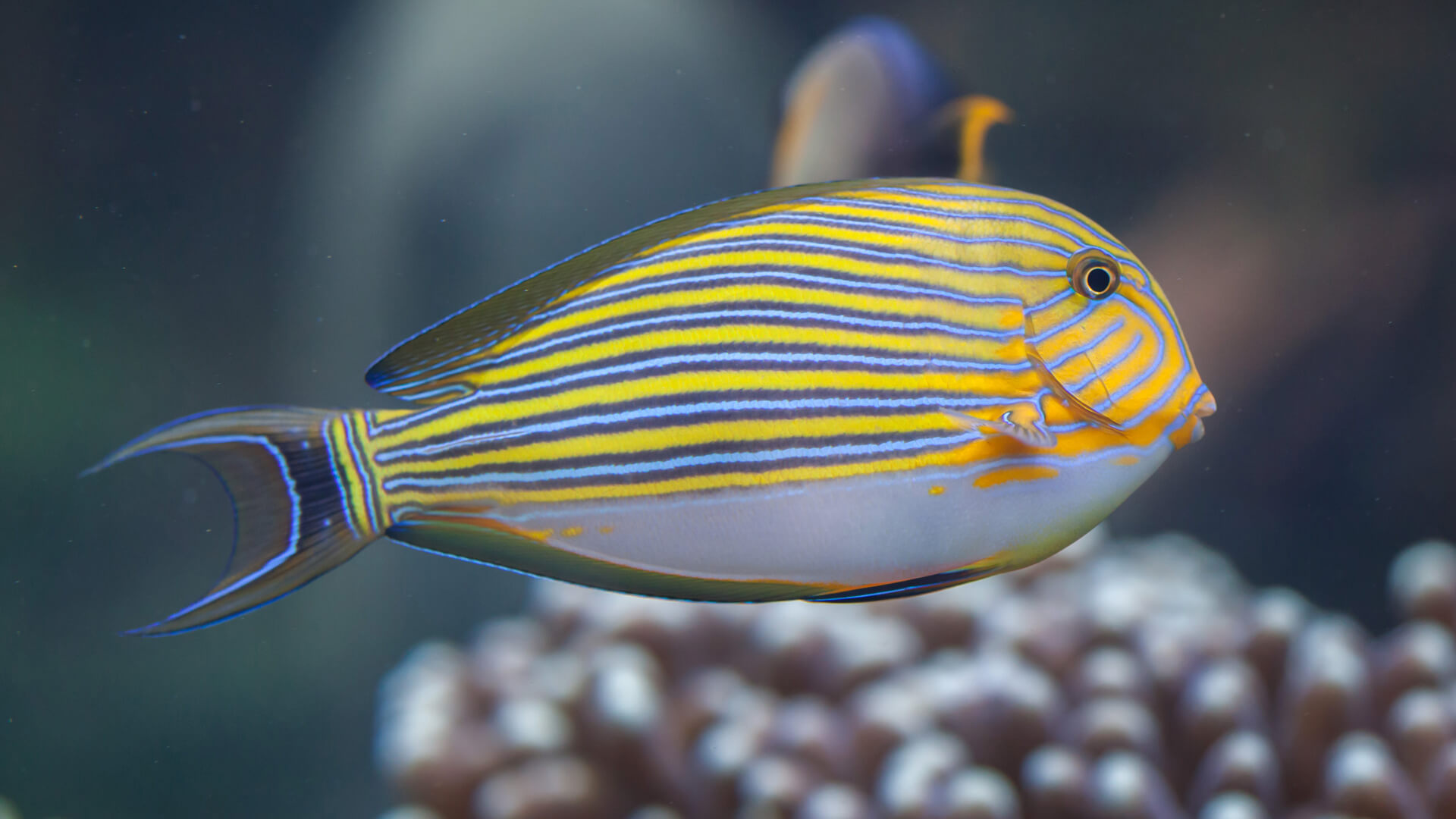 Wild Blue Banded Surgeonfish - Aquatic Treasures of Las Vegas, Nevada