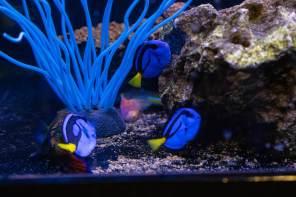 Blue Tang Saltwater Fish - Aquatic Treasures of Southern Nevada