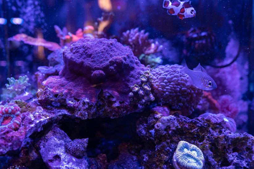 Saltwater Coral Frags Available at Aquatic Treasures of Las Vegas, Nevada