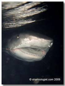 Shark encounters section bahamas