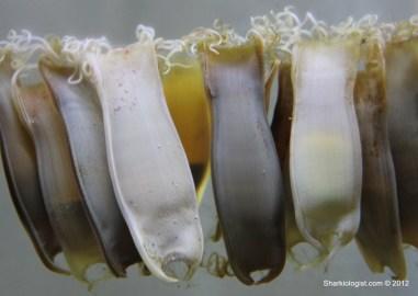 Small Spotted Catshark (Scyliorhinus canicula) egg cases. Taken at Macduff Marine Aquarium.