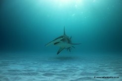 A final approach by a Great Hammerhead as the sun begins to set
