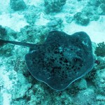 Black Stingray, N. Male Atoll, Maldives