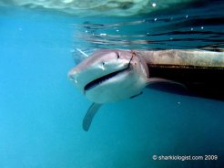 Tiger Shark (Galeocerdo cuvier) caught for population monitoring and habitat usage observations. South Bimini, Bahamas. (Photo credit: Craig O'Connell)