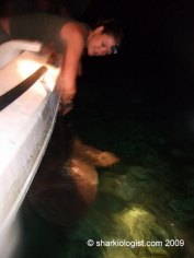 Preparing to I.D. tag and take down information on a Large Tiger Shark (Galeocerdo cuvier) caught at night. South Bimini, Bahamas. (Photo credit: Charlotte Cook)