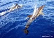 Common Dolphins, Faial Island, Azores