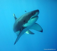 A large white shark, turns on the approach to the camera