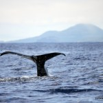 Sperm Whale mother dives, while calf waits, Faial Island, Azores