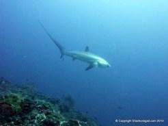 Pelagic thresher shark (Alopias pelagicus) Monad Shoal, Phiippines
