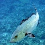 Snapper, Palau