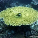 Coral as big as a table! Palau