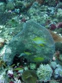 Damselfish in front of a sea fan at Monad Shoal, Philippines
