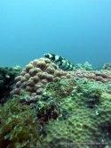 Lizard Fish, Monad Shoal, Philippines
