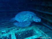 Green Sea Turtle in the hold of the Sea Tiger, Oahu, Hawaii.