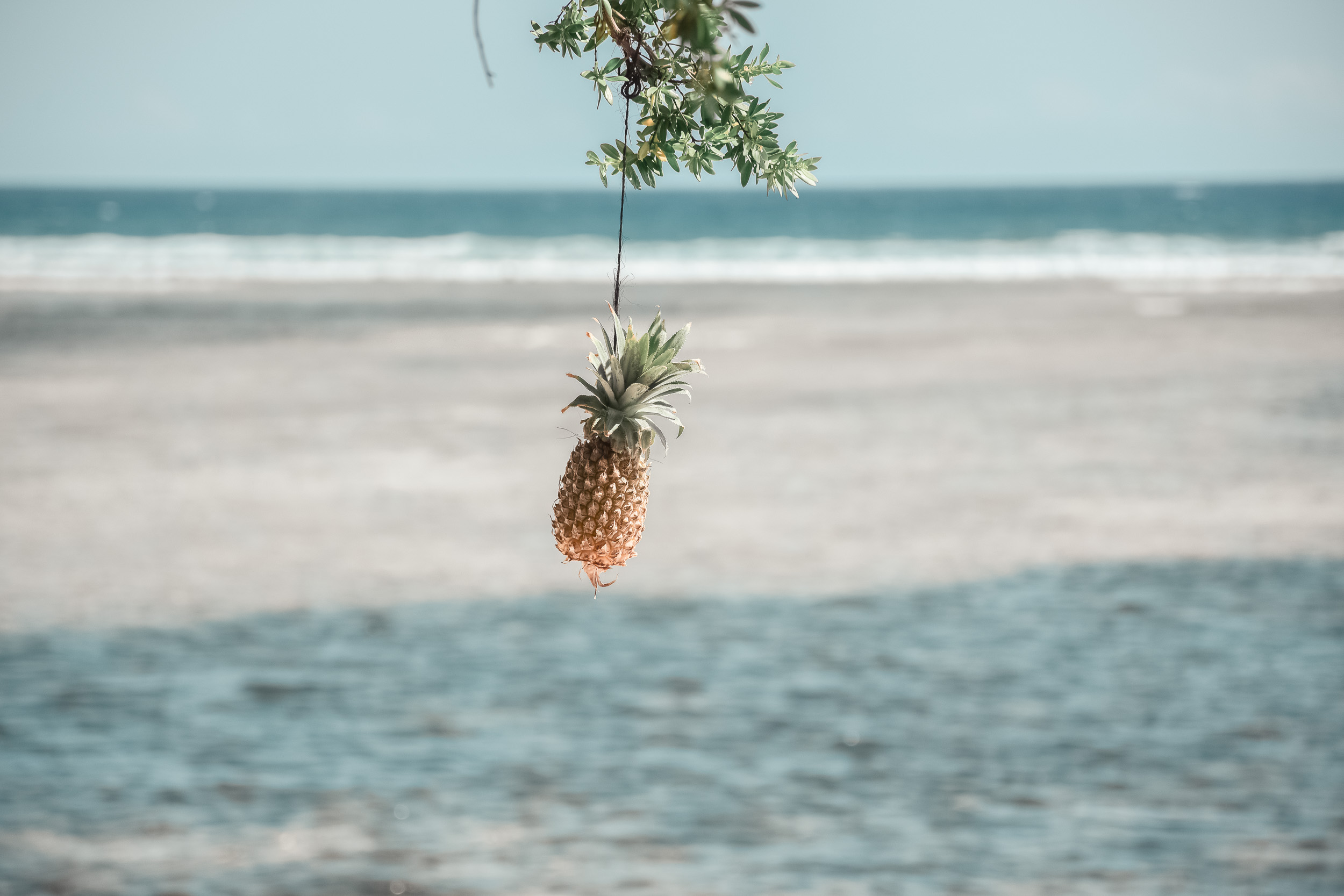 Pineapple Hanging from Tree