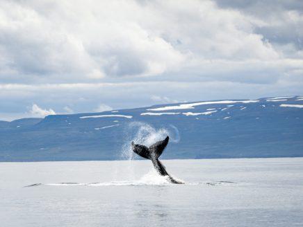 Westfjorde: Whale Watching in Hólmavík