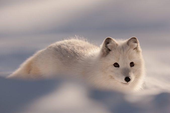 Polarfuchs Hornstrandir