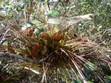 red-tinged air plant