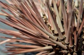 dead sea urchin (2)