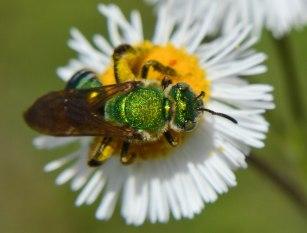 Halictid Bee (4)