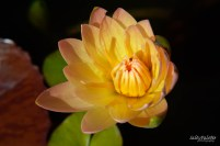 water lily Naples BG (5)