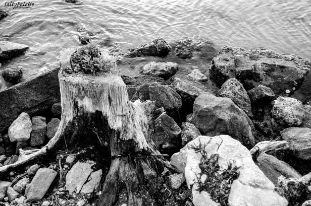 Rocks and stump along the channel that leads through the inlet to the ocean
