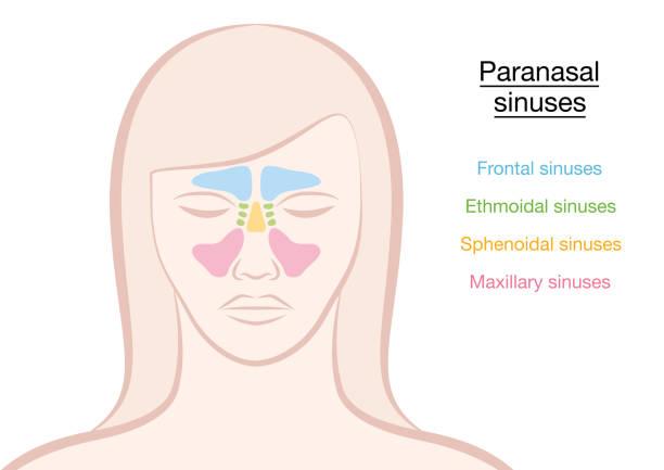 senos nasales