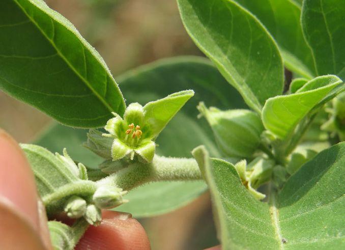 Beneficios de la Ashwagandha para la salud humana