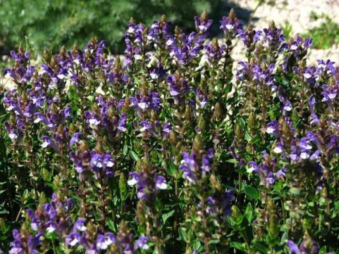 Escutelaria China principales beneficios y propiedades de este remedio natural