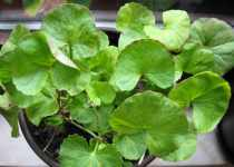 Beneficios de la Gotu Kola o Centella Asiática