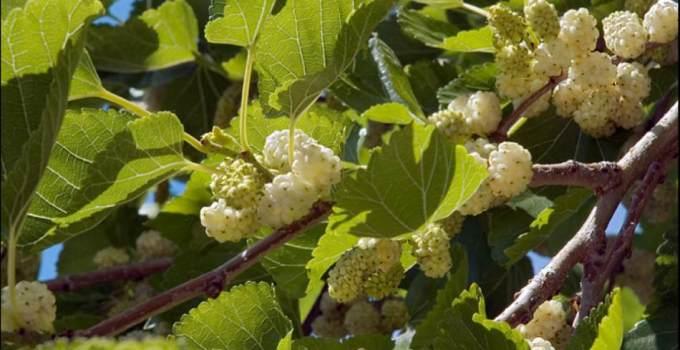 Beneficios y Propiedades de la Mora Blanca