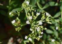beneficios y efectos de la stevia (estevia)