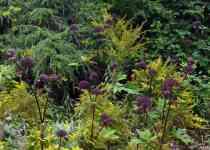 Beneficios, Efectos y Dosis de Angelica gigas para la salud
