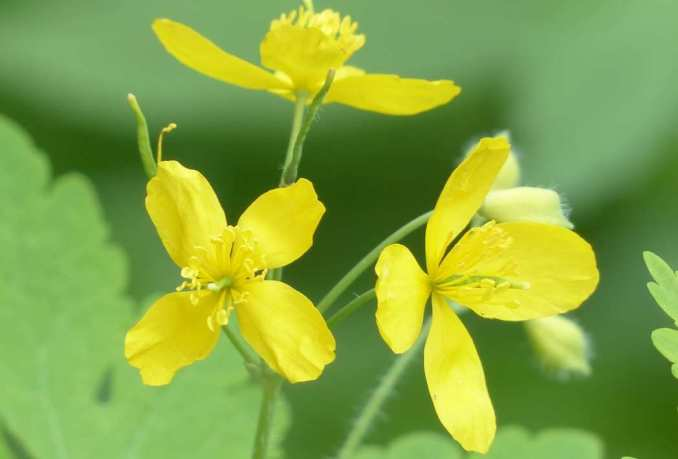 Beneficios y propiedades de la planta Celidonia. ¿Para qué sirve la celidonia? ¿Qué es lo que hace de esta planta un remedio natural?