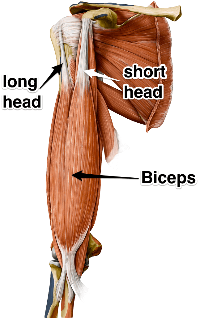 Muscle Monday - Biceps! | Salus Massage Therapy