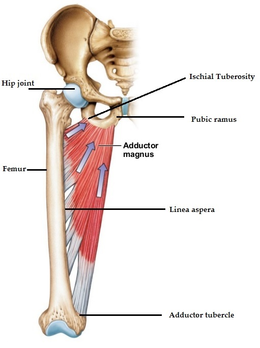Muscle Monday - Adductor Magnus | Salus Massage Therapy
