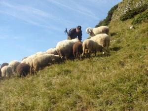 Франция: в Изере 15 баранов приняли в школу.
