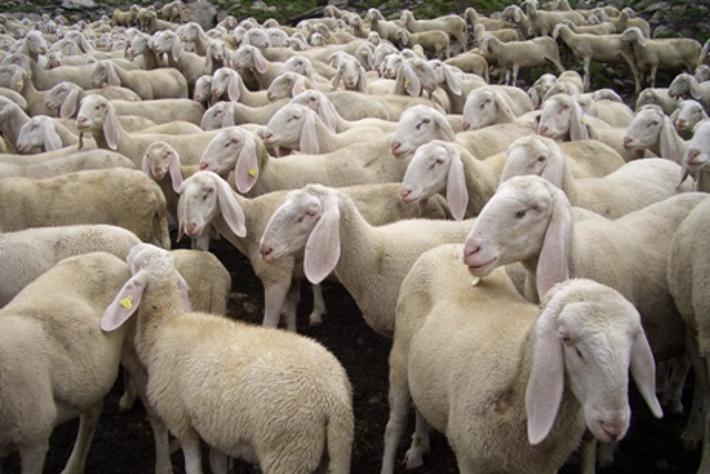 Scatta il sequestro del latte di pecora italiano