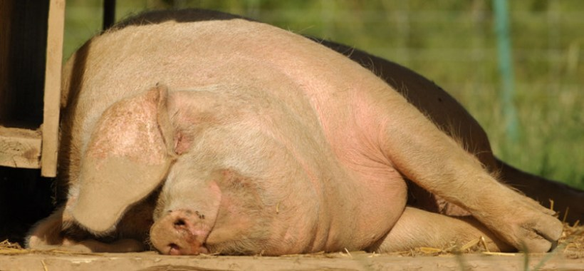 © British Lop Pig Society 2014