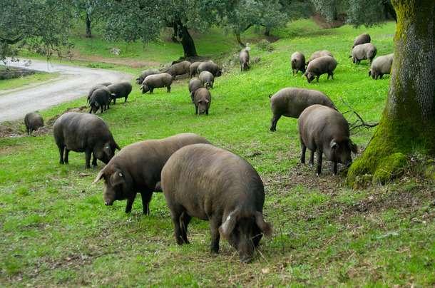 Cinco Jotas Pig Farm