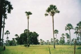 Paysage d'hivernage : des rôniers dans la brousse verte