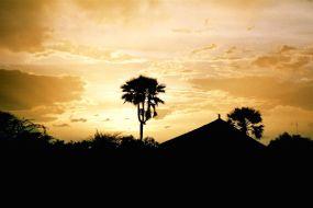 Le palmier-rônier près de Chicao au soleil couchant