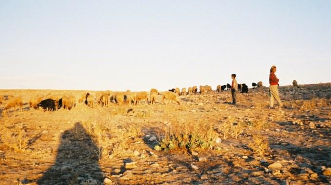 Moutons de l'Atlas