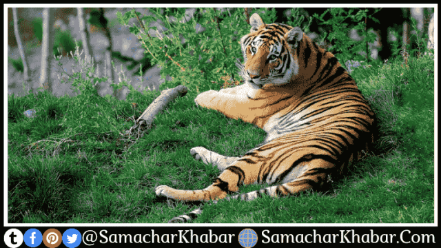 70% of the global tiger population in india