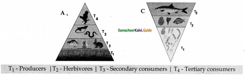 Samacheer Kalvi 12th Bio Botany Guide Chapter 7 Ecosystem 20