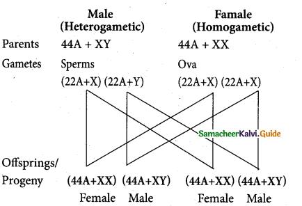 Samacheer Kalvi 12th Bio Zoology Guide Chapter 4 Principles of Inheritance and Variation 1