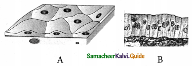 Samacheer Kalvi 9th Science Guide Chapter 18 Organization of Tissues 14