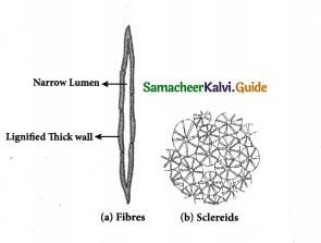 Samacheer Kalvi 9th Science Guide Chapter 18 Organization of Tissues 3