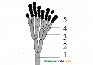 Samacheer Kalvi 11th Bio Botany Chapter 1 Living World 12