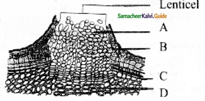 Samacheer Kalvi 11th Bio Botany Guide Chapter 10 Secondary Growth 8